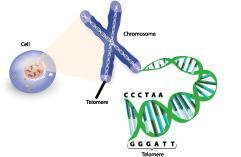 Теломери - зона на некодирано ДНК